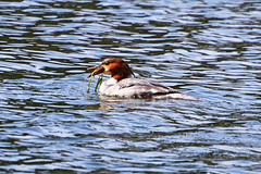 Из жизни больших крохалей. (tam6524) Tags: большойкрохаль goosander mergusmerganser anatidae bird water waterfowl nature animal female nutrition lake