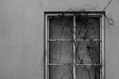(Mikko Luntiala) Tags: 2018 autumn bw blackandwhite crack d600 dark fall finland halkeama ikkuna köynnös köynnöskasvi marraskuu mikkoluntiala mustavalkoinen nikond600 november seinä suomi syksy synkkä tamronsp70200mmf28divcusdg2 villiviini vine wall window