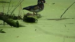 Wood Duck_3755.mp4 (Henryr10) Tags: eastforklake eastforkstatepark bethelohio littlemiamiriverbasin usa stevenewmantrailhead woodduck aixsponsa aix duck avian bird vogel ibon oiseau pasare fågel uccello tékklistar waterfowl wodu