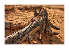 Boswachterij Dorst B (cees van gastel) Tags: ceesvangastel canoneos550d sigma1020mm landscape landscapes zand trees bomen dorst duinen dunes stumps treestumps stronken boomstronken