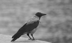 Seen Too Much (Robin Shepperson) Tags: bird monochrome sad melancholy wildlife nature crow pied old grey blackandwhite bokeh d3400 nikon berlin germany expression september bw
