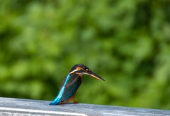 Kingfisher (Changer4Ever) Tags: nikon d750 7003000mmf4056 kingfisher commonkingfisher bird animal life nature color colorful bokeh dof depthoffield sunlight bright light season feather
