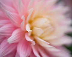 dahlia 2744 (DannyBurkPhotography) Tags: pink white petals closeup soft focus bokeh bonnevillemill countypark elkhart indiana voigtlander 65mm apolanthar