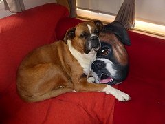 Reba with Cushion (andreboeni) Tags: reba boxer dog chien hund perros dogs chiens hunden caravan