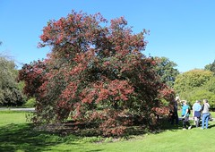 Crataegus prunifolia at Kew (stephenmid) Tags: kew royalbotanicgardenskew