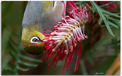 Silvereye on Grevillea Flower (Bear Dale) Tags: silvereye this one is bright sunlight feeding spring grevillea flower ulladulla southcoast new south wales shoalhaven australia beardale lakeconjola fotoworx milton nsw nikon d850 photography framed nature nikkor afs 200500mm f56e ed vr teleconverter tc14e iii photo photograph groups group flickr naturephotography