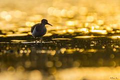 Brodziec piskliwy/Common sandpiper #2 (mirosławkról) Tags: wildlife animal bird nature nikonnaturephotography 150600 water pond poland blue wild brodziec piskliwy common sandpiper silesia