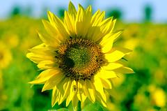 _DSC0226 (Raphistole) Tags: tournesols sunflower nikon d7000 sun flower yellow 105mm sigma bokeh