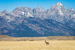 Ready to Run (David Recht) Tags: grandteton jackson wyoming unitedstates us pronghorn fast speed national park grass field