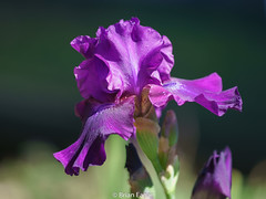 purple reblooming iris sigma 150 macro (brian eagar - very busy - not much time to comment) Tags: iris reblooming purple fall autumn flower color macro sony a7r2 a7rii september 2018
