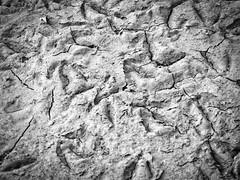 Goose Mud (RandallMcRoberts) Tags: artphotography bw blackandwhite driedmud fineartphotography footprints monochrome mud