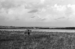 Nivå strandenge (holtelars) Tags: asahi pentax spotmatic sp m42 supermulticoated takumar smctakumar 85mm f18 film 35mm analog analogue ilford fp4 ilfordfp4 100iso d76 bw blackandwhite monochrome filmphotography filmforever ishootfilm lars holtehome processing jobo atl1500 nivå køer strandenge cows denmark danmark