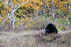 Ate too much ((JAndersen)) Tags: bear blackbear glacier glaciernationalpark montana usa nature wildlife animals nikon nikkor20005000mmf56 d810
