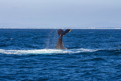 whale3Oct5-18 (divindk) Tags: anacapa anacapaisland channelislands channelislandsnationalpark humpbackwhale megapteranovaeangliae sanmiguelisland santabarbara santacruzisland santarosaisland underwater ventura blueocean cetacean diverdoug flukes marine marinemammal ocean reef sea underwaterphotography whale whaletail