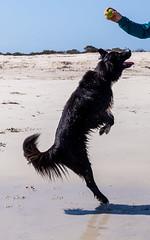 His impersonation of a Kangaroo! (Jared Beaney) Tags: canon canon6d australia photography photographer travel southwest westernaustralia dog dogs animals puppy bordercollie germanshepherd kelpie x cross busselton beach sand ocean