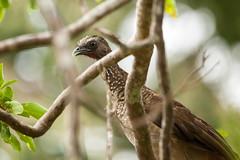 Speckled Chachalaca (Ortalis guttata) (Sergey Pisarevskiy) Tags: speckledchachalaca ortalisguttata bolivia southamerica birds birdwatching wildnature wildlife