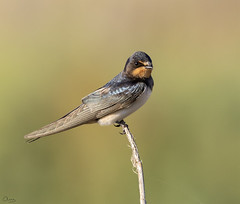 Golondrina común (Antonio Lorenzo Terrés) Tags: ave migratoria europea bird pájaro fauna laguna parque natural naturaleza nature