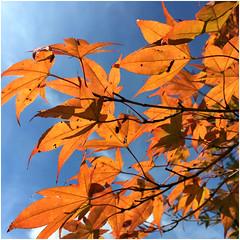 HSoS ~ Season's Flora (karma (Karen)) Tags: pikesville maryland leaves fallcolors smileonsaturday seasonsflora cliche squared hsos hcs iphone topf25 cmwd