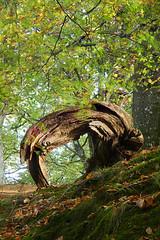 Inderø Skov ved Hald Sø 07 - Træskulptur (Walter Johannesen) Tags: hald sø morgen natur nature morning skov træ tree træer trees wood