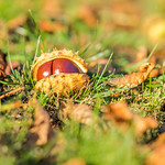 the red horse-chestnut thumbnail