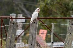 Long-billed Corella on a farm fence (Merrillie) Tags: gresford fence wildlife country landscape nature bird longbilledcorella hunterregion corella outdoors farm rural parrot rustic animal