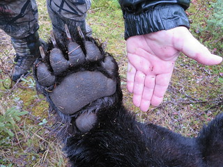 Newfoundland Caribou Hunt, Moose, Bear Hunting 13
