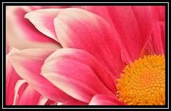 "24/100 for ""100 Flowers 2018"" (NikonShutterBug1) Tags: nikond7100 tokina100mm nature wildlife bokeh spe smartphotoeditor closeup macro flower flora 100flowers2018 sundaylights"