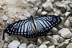 Great Zebra (scubahenlik) Tags: butterfly papilionidae insect thailand khaosok nature