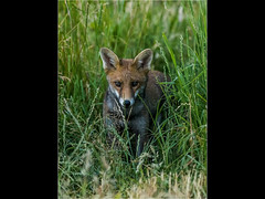 Fox (Paul West ( pwest.me )) Tags: nature fox fourspottedchaser house martin housemartin countryside riverside dorset
