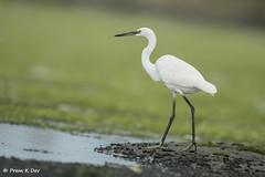 # Little Egret............. (Prem K Dev) Tags: little lesser lake lovely egret beautiful bird bokeh bg water white wild wildlife wonderful pleasing pose pulicat green blue nature action attractive avian india backwaters snowy elegant