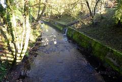 Young Swan on River (Carol AFGW) Tags: yarrowvalley chorley lancashire riveryarrow muteswan swans biglodge