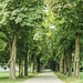 The chestnut trees avenue