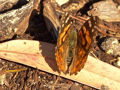 Painted Lady (Rodger1943) Tags: butterflies australianbutterflies fz200