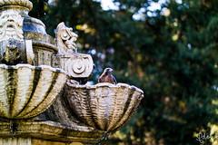 Hawk @ the Huntington Library Fountain (qdotj79) Tags: hawk nature bird fountain huntingtonlibrary pasadena nx nx30 bokeh 14 f14