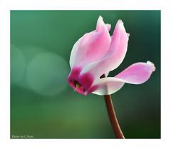 Sunny Cyclamen (Graham Pym On/Off) Tags: flower cyclamen macro bokeh nikon diffused petals pink floral ngc coth5 doublefantasy5 doublefantasy