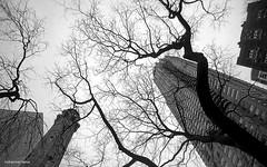 CHICAGO (mhd.hamwi) Tags: chicago city tree trees building urban pov up bw blackandwhite street streetphotography mhdhamwi mohammadhamwi nikon nikond5000 nostalgia sky illinois usa blues light sad sadness windows محمدتيسيرالحموي محمدالحموي شيكاغو أميركا الولاياتالمتحدة monochrom winter cold cloudy indiana outdoor syria syrian