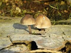 ...found a niche .... (simonpfotos) Tags: mushroom fungus paddestoel