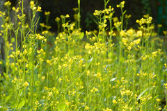 Field flowers (Kapitalist63) Tags: garden dacha season harvest color autumn healthy kind form format area beds cultivate grow land plant flora green grass flowers yellow look view meadow