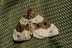 Pedic (natalija2006) Tags: cosmorhoe ocellata pedic purple bar moth geometridae pedici lepidoptera metulji nature narava slovenia