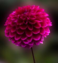 Dahlia 'Purplicious' (annabelleny Thank you for your many views and comm) Tags: flower floral dahlia purple fall garden annjacobson dahliapurplicious'
