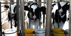 Calves at Double S Dairy look anxiously at a stranger as they wait to be fed.