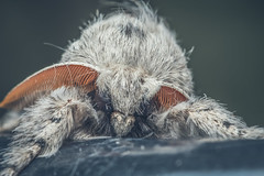 Furry (JWB Creative Life) Tags: moth white furry fluffy hairy antennae nature macro 21 laowa fuji