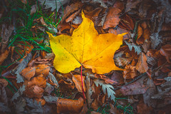Autumn Series - 20 (Dhina A) Tags: sony a7rii ilce7rm2 a7r2 a7r fe 55mm f18 za 18 carl zeiss sonnar t sel55f18z autumn series fall colors colourful leaves leaf park