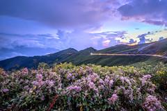 合歡山~虎杖花夕彩 ~  Tiger Stick Sunset (Shang-fu Dai) Tags: 台灣 taiwan 南投縣 仁愛 合歡山 雲海 nikon d800e landscape 虎杖花 formosa 3417m 合歡主峰 主峰 sky mthehuan 昆陽 戶外 天空 雲 車軌 rails 山 風景 路 sunset