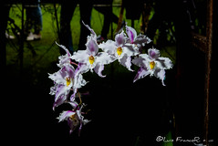 Festival de orquideas - Orchid Festival jardín Botánico (Luis FrancoR) Tags: festivaldeorquideasorchidfestival orquídeas orchid jardinbotanicobogota garden ngw ng ngc ngs ngd ngg flores flowers