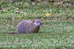 Chuckie © (Rodolfo Quinio) Tags: chuckie woodchuck groundhog nikond500 nikonafs500mmf4gedvr nikontc14eii mybackyard howardcounty maryland nature wildlife 110