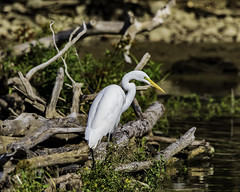 Great White Egret (will139) Tags: greatwhiteegret ardea ardeaalba animalia wildlife ornithology avian fisher hunter