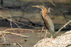 Green Heron in the Early Morning Light (Michael Allen Siebold (Getty Images Contributor)) Tags: animal animalthemes animalwildlife animalsinthewild balance beauty beautyinnature bird birdwatching feather greenheron nature nopeople oneanimal outdoors perching photography resting sitting thenaturalworld watching waterbird heron benton kentucky unitedstates us