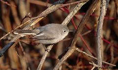 Blue-gray Gnatcatcher (Polioptila caerulea) - Kelowna, BC (bcbirdergirl) Tags: scandiawoods bluegraygnatcatcher bggn kelowna bc gnatcatcher polioptilacaerulea centralokanagan bcbird rarity passerine