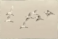 El viaje (Tito Garcia Niño) Tags: barcelona catalunya españa remolarfilipines spain animales animals aves birds deltadelllobregat egrettagarzetta garcetacomún martinetblac natura naturaleza nature ocells reservanatural